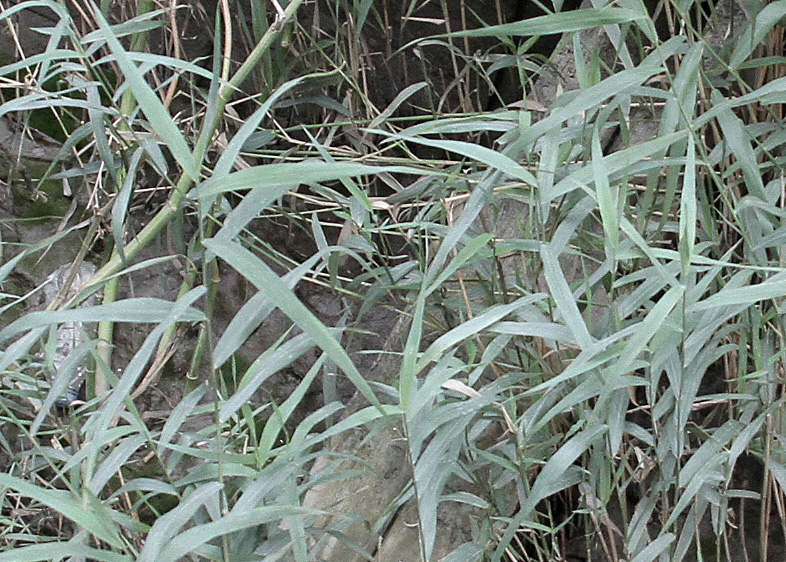 Reeds are known to increase biodiversity on river margins.
