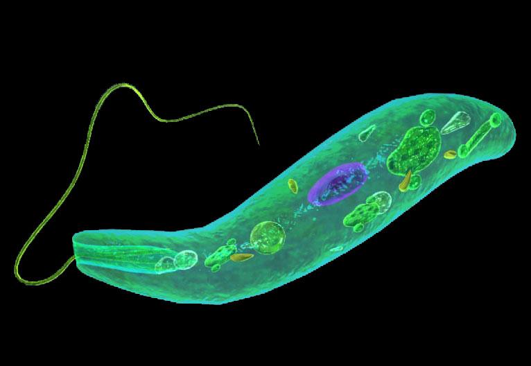 False colour electron microscope image of Euglena.